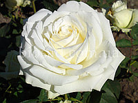 Роза Аваланш (Avalanche)