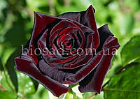 Роза Блек Баккара (Black Baccara)