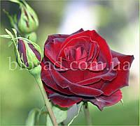Роза Блек Бьюти (Black Beauty)