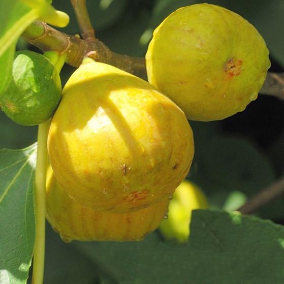 Саженцы ижира Yellow Long neck -средний, самоплодный, крупноплодный
