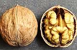 Саженцы Грецкого ореха Иван Багряный (2 летний) - средне-позднего срок, фото 2
