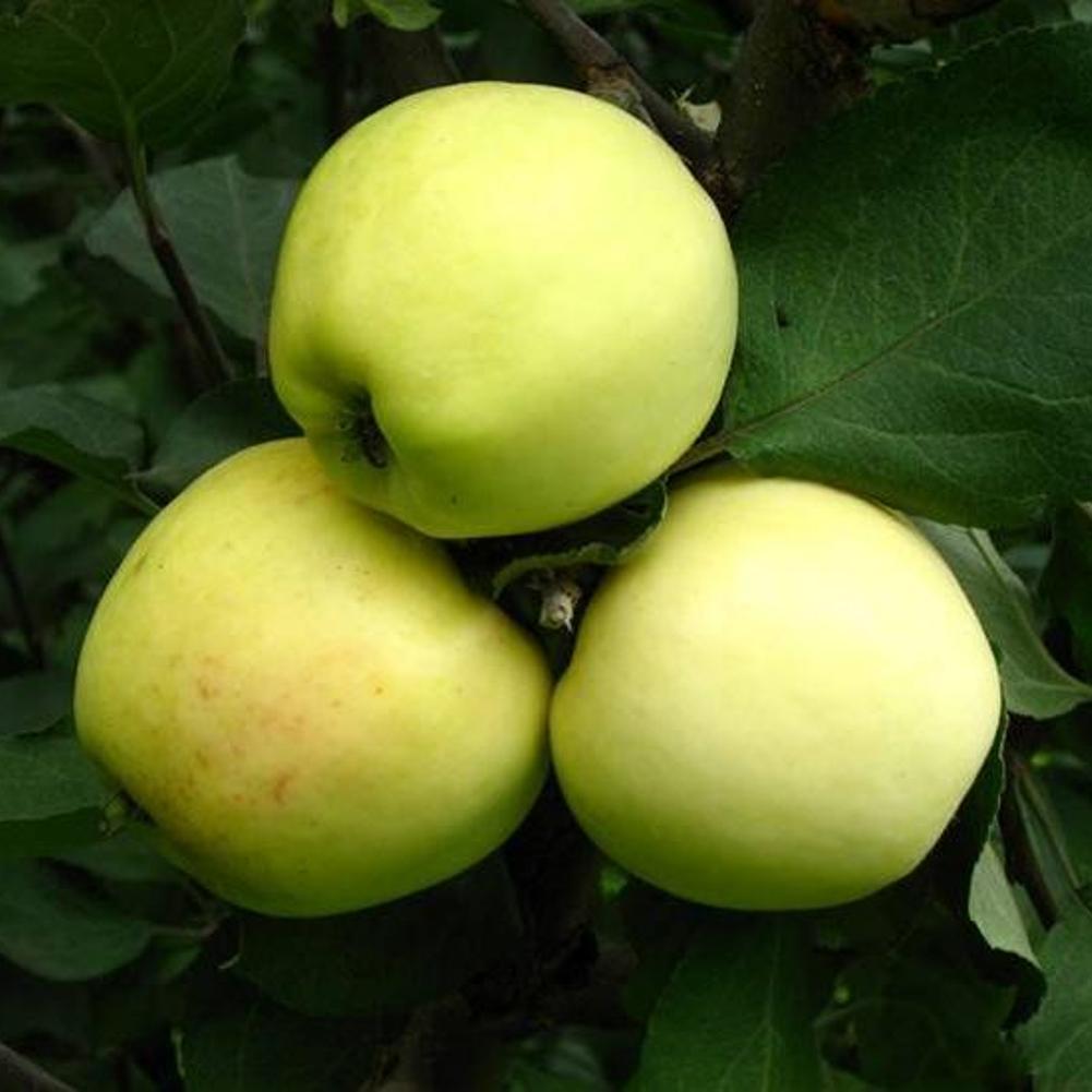 Саженцы Яблони Кальвиль Снежный - зимняя, урожайная, зимостойкая