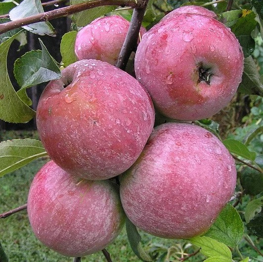 Саженцы Яблони Тоширо Фуджи - осенняя, крупноплодная, урожайная