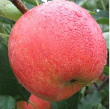 Саджанці Яблуні Чемпіон - зимова, урожайна, зимостійка