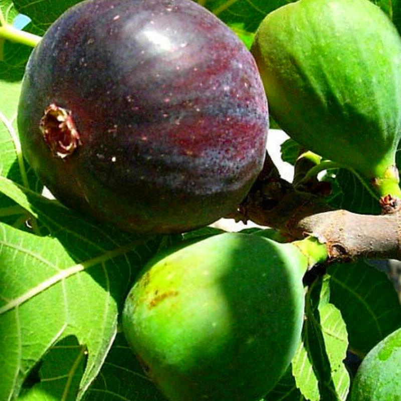 Саженцы инжира Фиолетовый (Purple) - средний, самоплодный, сладкий