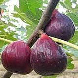 Саженцы инжира Фиолетовый (Purple) - средний, самоплодный, сладкий, фото 3