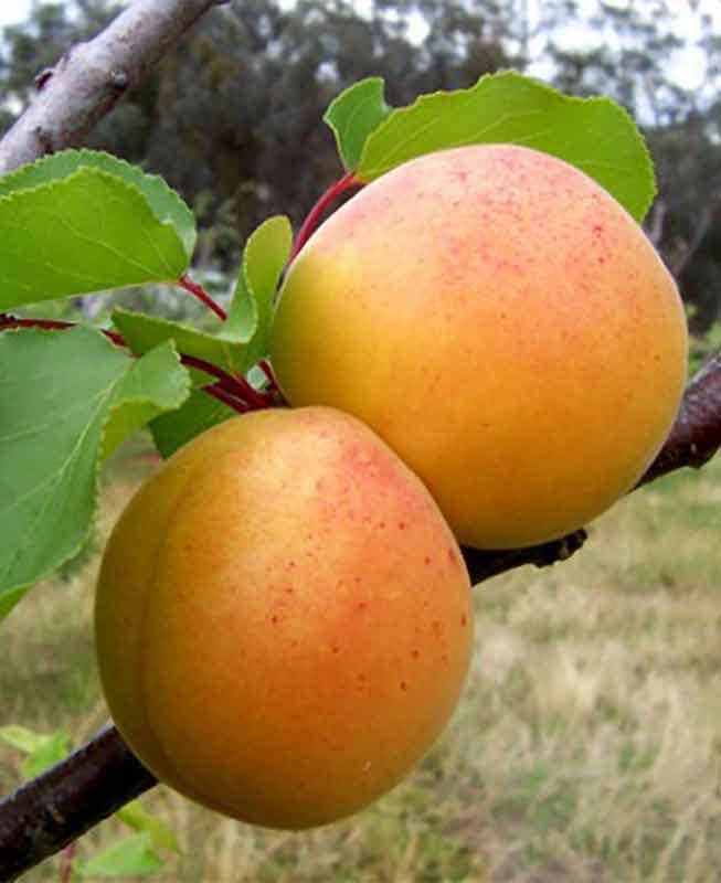 Саджанці Абрикоса Персиковий - середній, великоплідний, солодкий
