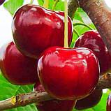 Саженцы Чудо - вишни, среднего срока, скороплодная, морозостойкая, фото 3