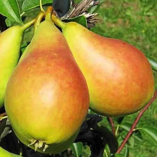 Саженцы Груши Дельбараю (RX12-47) - поздне-зимний сорт, урожайная