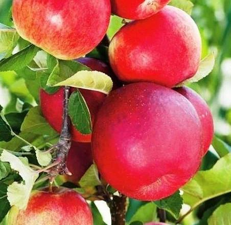 Саджанці колоновидної Яблуні Арбат - осіння, солодка, морозостійка