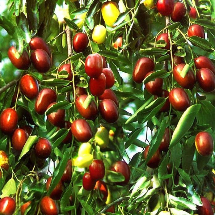 Саджанці Зизифуса Цукерковий (щеплений) - ранній, урожайний