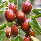 Саджанці Зизифуса Цукерковий (щеплений) - ранній, урожайний, фото 2