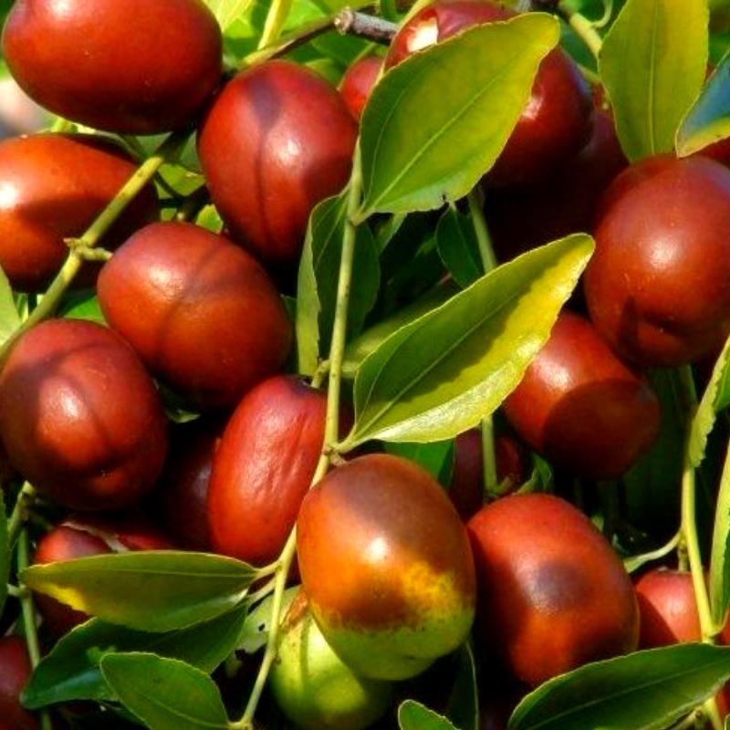 Саженцы Зизифуса Унаби - сладкий, урожайный , неприхотливый