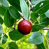 Саженцы Зизифуса Унаби - сладкий, урожайный , неприхотливый, фото 2
