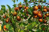 Саженцы Зизифуса Унаби - сладкий, урожайный , неприхотливый, фото 3
