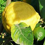 Саджанці лимона Київський Великоплідний - ранній, дуже великий, фото 2