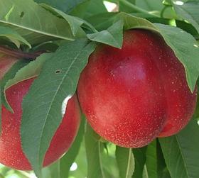 Саженцы Нектарина Ванг-3 - ранний, крупноплодный, зимостойкий