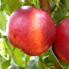Саженцы Нектарина Рубиновый 4 - ранний, крупноплодный, урожайный