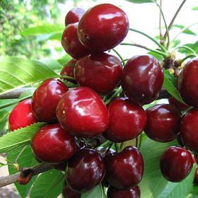 Саженцы Черешни Мелитопольская ранняя - морозостойкая, урожайная