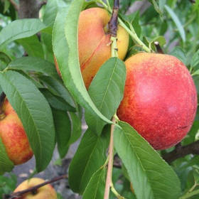 Саженцы Нектарина Рубиновый 7 - средний, крупноплодный, урожайный