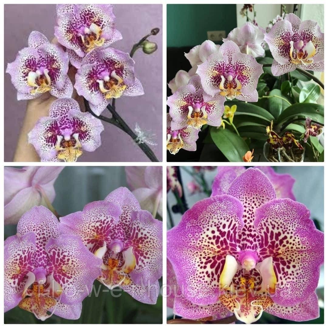 Орхидея Phal. Sogo Diamond 'HLW'
