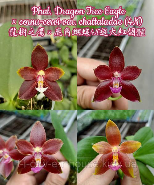 Орхидея Phal. Dragon Tree Eagle × cornu-cervi var. chattaladae (4N)