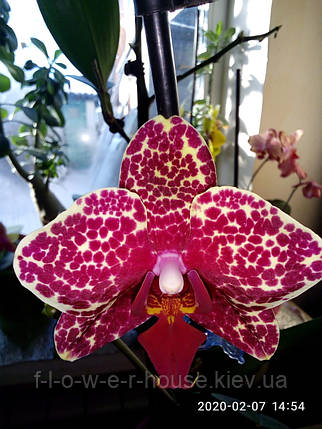 Орхидея Phal. OX Red Sesame, фото 2