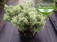 Hebe pinguifolia, Хебе товстолиста,P7-Р9 - горщик 9х9х9