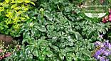 Pachysandra terminalis 'Green Sheen', Пахісандра верхівкова 'Грін Шін',C2 - горщик 2л, фото 2