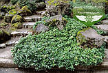 Pachysandra terminalis 'Green Sheen', Пахісандра верхівкова 'Грін Шін',C2 - горщик 2л, фото 3