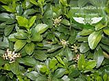 Pachysandra terminalis, Пахісандра верхівкова,P7-Р9 - горщик 9х9х9, фото 2