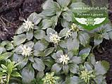 Pachysandra terminalis, Пахісандра верхівкова,P7-Р9 - горщик 9х9х9, фото 3