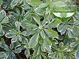 Pachysandra terminalis, Пахісандра верхівкова,P7-Р9 - горщик 9х9х9, фото 4