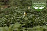 Pachysandra terminalis, Пахісандра верхівкова,P7-Р9 - горщик 9х9х9, фото 5