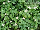 Pachysandra terminalis, Пахісандра верхівкова,P7-Р9 - горщик 9х9х9, фото 6