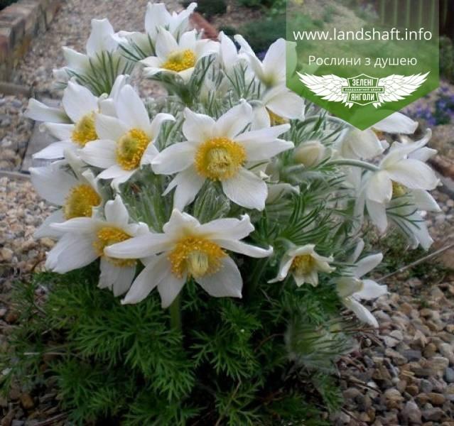 Pulsatilla vulgaris 'White Swan', Сон звичайний 'Вайт Свон',P7-Р9 - горщик 9х9х9