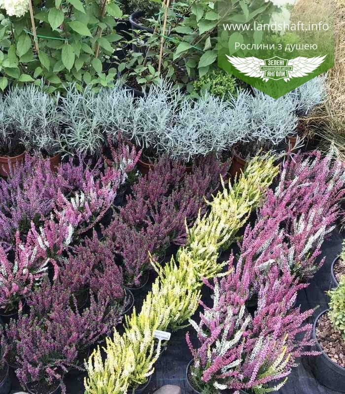 Calluna vulgaris mix, Верес звичайний в асортименті,Бордовий,P12 - горщик 0.9л