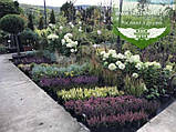 Calluna vulgaris mix, Верес звичайний в асортименті,Бордовий,P12 - горщик 0.9л, фото 2