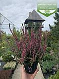 Calluna vulgaris mix, Верес звичайний в асортименті,Бордовий,P12 - горщик 0.9л, фото 3