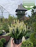 Calluna vulgaris mix, Верес звичайний в асортименті,Бордовий,P12 - горщик 0.9л, фото 4