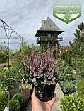 Calluna vulgaris mix, Верес звичайний в асортименті,Бордовий,P12 - горщик 0.9л, фото 5