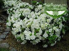 Azalea japonica 'Schneeperle', Азалія японська 'Шнееперле',C2 - горщик 2л