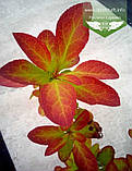 Berberis koreana, Барбарис корейський,C5 - горщик 5л, фото 3