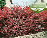 Berberis thunbergii 'Harlequin', Барбарис Тунберга 'Арлекін',C5-C7 - горщик 5-7л, фото 5