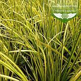 Acorus gramineus 'Oborozuki', Аїр злаковий 'Оборозукі',C2 - горщик 2л, фото 2