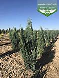 Chamaecyparis lawsoniana 'Alumii', Кипарисовика Лавсона 'Алюмі',60-80см,CRB15 - ком/горщ. 15л, фото 5