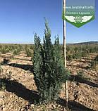 Chamaecyparis lawsoniana 'Alumii', Кипарисовик Лавсона 'Алюмі',60-80см,CRB25 - ком/горщ. 25л, фото 4