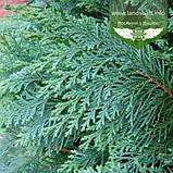 Chamaecyparis lawsoniana 'Alumii', Кипарисовик Лавсона 'Алюмі',60-80см,CRB25 - ком/горщ. 25л, фото 8