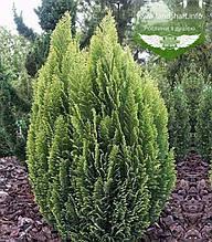 Chamaecyparis lawsoniana 'Ellwood's Empire', Кипарисовика Лавсона 'Елвудс Емпайр',WRB - ком/сітка,40-60см