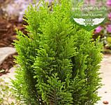 Chamaecyparis lawsoniana 'Ellwood's Empire', Кипарисовик Лавсона 'Елвудс Емпайр',WRB - ком/сітка,120-140см, фото 2